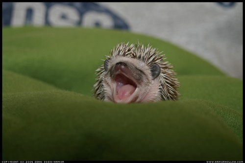 Sleepy_hedgehog